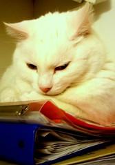 Studiare (Giorgina Woolf) Tags: studio libri uga gatto bianco scuola micia quaderni studiare