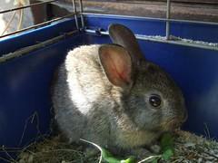 Mehr Hasis 004 (connielein) Tags: pet bunny may 2009 hasen zwergkaninchen