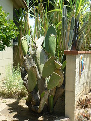 Cactus in the courtyard garden, San Gabriel Mission