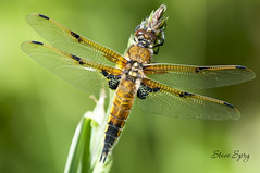 Four-spotted Chaser (Sprigo (Not Around Much Lately)) Tags: macro nature animal insect dragonflies dragonfly insects insecte insectes libellule northdevon odonata flyinginsect fourspottedchaser libellulaquadrimaculata libellules odonate odonates