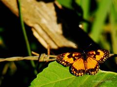 Borboleta Laranja e Preta (Annderson Tvora) Tags: laranja borboleta preta folha
