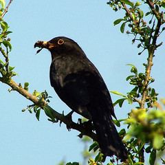 Male blackbird (billnbenj) Tags: blue sky orange tree bird branch beak cumbria blackbird barrow maleblackbird