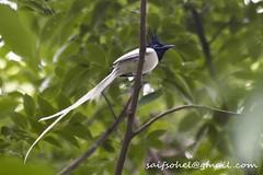 Asian paradise flycatcher (Female) (saifsohel) Tags: bird birds