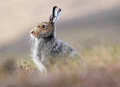 Highland Dawn (Chris Sharratt) Tags: dawn hillside scottishhighlands mountainhare lepustimidus bluehare impressedbeauty chrissharratt