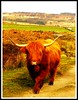 Highland Cattle, at Curbar. (stevemellor1) Tags: nature savebeautifulearth