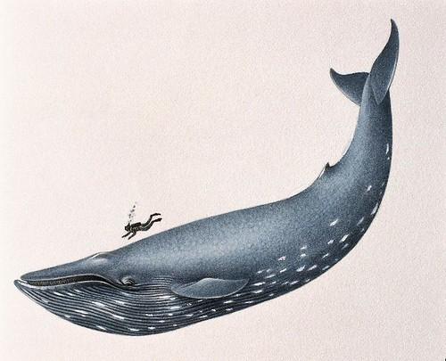 blue whale size. Blue Whale size