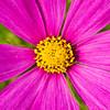 The Sun (olvwu | 莫方) Tags: pink red plant flower macro bokeh farm taiwan ntu taipei bud ruby asteraceae cosmos coreopsis laef compositae herbaceous coreopsistinctoria taipeicounty cosmosbipinnatus sindian jungpangwu oliverwu oliverjpwu asterales mexicanaster 50mmmacro gardencosmos ntufarm olvwu sindiancity coreopsistinctorianutt jungpang ntuangkangfarm ntuankangfarm