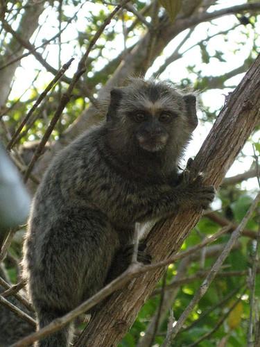 marmoset monkey, Ilha Grande