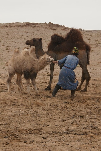 Struggling to get the baby camel away from mama