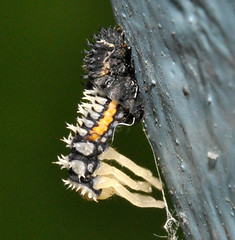 ladybird-larva-molt-june 2009 (le maudit) Tags: macro closeup ladybird ladybug molt larva
