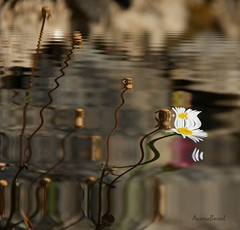 retrato de flor..flower portrait... (@uroraboreal) Tags: flores flower portugal reflections reflexos auroraboreal1