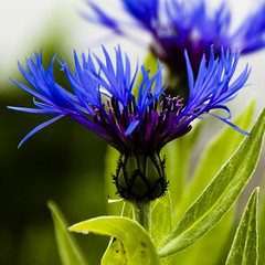 Trois-Pistoles - Blue Weed, a nice Flower - Bachelor's Button, Trois-Pistoles (Marie-Marthe Gagnon) Tags: blue canada flower green square dof quebec north stlawrence button second legacy smalltown bachelors troispistoles basques pistoles bachelorsbutton 5f 3pistoles naturesquare mariegagnon mariemarthegagnon mariemgagnon