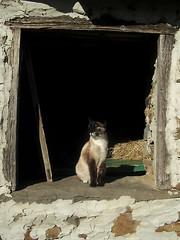 Tomando el sol (SwEeTcHy) Tags: shadow summer sun sol cat asturias sombra gato verano tarde pajar villar naturesfinest aller