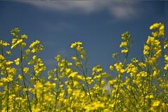 _DSC0514 (micheemich.) Tags: yellow deer mustard beiseker conola