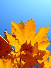 Keep me searchin for a heart of gold.... (Anniko 1996) Tags: blue autumn sky fall leaves licht laub herbst himmel blau schatten ahorn oktober2009anniko