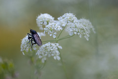 PIQUE ! (FREDBOUAINE ) Tags: macro nature lumire insecte douceur aficionados k200d pentaxart tamron90mm25adaptall2forpentaxk