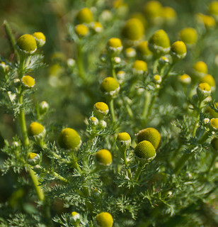 Echte kamille in knop - Buds of German chamomile - Matricaria chamomilla