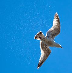 jonathan livingstone... (Norma Desmond) Tags: sea sky bird water flying seaside drops seagull spray