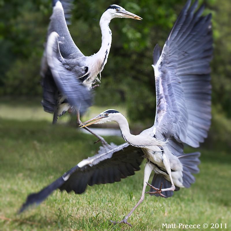 Herons fighting over food scraps