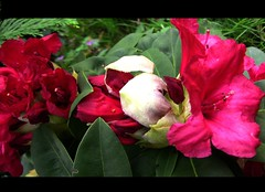 Rote Rhododendren  - 13-29 (roba66) Tags: plants flores flower nature fleur flora blossom natur flor pflanzen blumen rhododendron blume bloem blten flori rhododendren naturalezza roba66 blumenorosen