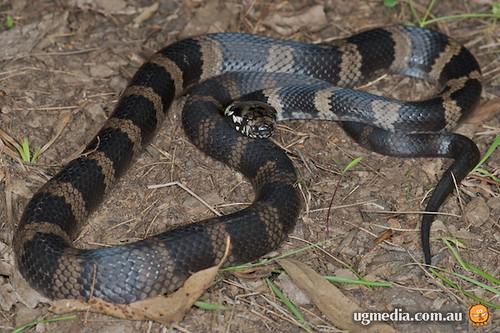 Stephens' banded snake (Hoplocephalus stephensii)