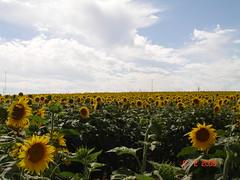 Plantações de Girasois - Argentina por NeideMota