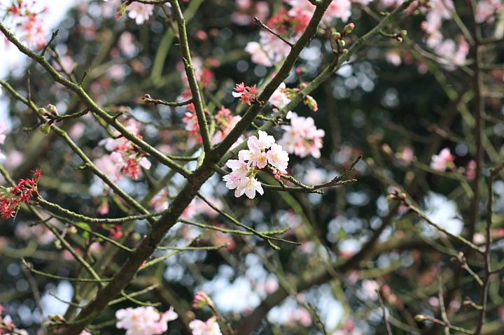 三芝櫻花17