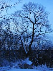 Blue Oak (PJSherris) Tags: blue sky snow tree studio dawn bay oak olympus olympusc4040z