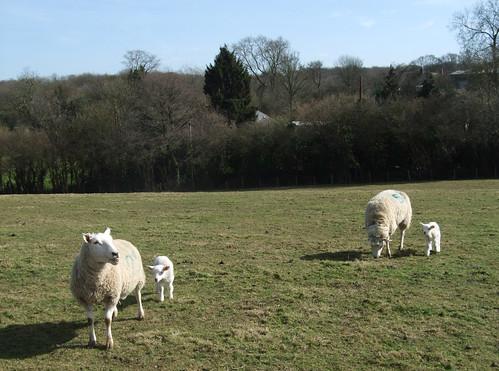 sheep-harvel