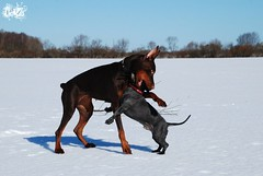 Campary and Villi (Liisaz88) Tags: winter two dog brown snow black cute dogs beautiful puppy fun outside happy mutt model nikon hug estonia play chocolate land mixedbreed villi dobermann dobbie flox campary villiam legrant