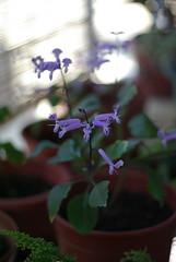 紫鳳凰 (zeng.tw) Tags: 50mm pentax f2 ricoh rikenon xrs k10d justpentax 紫鳳凰