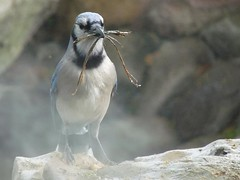 Building the Nest (JoWiJo) Tags: mist bird nature water animal rock jay nest wildlife bluejay twig creature dallasarboretum incrediblenature top20texas dallasblooms2009
