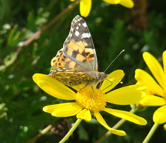 Painted Lady Butterfly (calista lee) Tags: orange yellow butterfly paintedlady