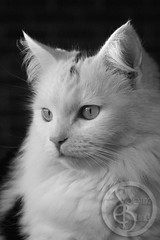 BabeGirl (KaTrina Blanks) Tags: portrait pet cats cute animal animals cat nc furry kitten chat fuzzy kitty northcarolina kittens gato cuddly furryfriday gatto ritratto gatti animale kedi portre chaton petportrait gattino poils hayvan carino irin gattini sevimli peloso kediler animaledomestico bulank pisipisi yavrukedi affettuoso evcilhayvan tyl camoments venerdpeloso momentidigatto ritrattodacompagnia tylcuma kedianlar hayvanportre