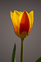 DSC_5946 (kutyagyerek) Tags: virág tulipán növény flowerotica gardenparadise