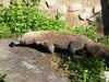 dhh au (dmathew1) Tags: tampa florida lowryparkzoo babywhitetiger babymandrill babyorangatun babycolobusmonkey babyguenon