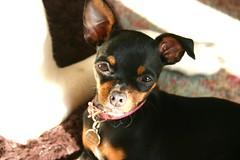Attentive (jayallen) Tags: stella dog chihuahua ophelia