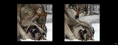 Dominant (Tufsa) Tags: winter animals norway canon norge vinter wolf wildlife teeth natur dyr 30d ulv dyreliv bildekritikk