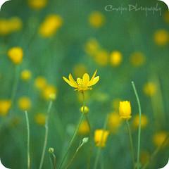 April green (Cmajor_Photography) Tags: flower macro green yellow spring bokeh april sunol californiabuttercup 105mmf28 notherncalifornia bokehlicious bokehphotography