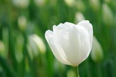 [フリー画像] [花/フラワー] [チューリップ] [ホワイト/花]        [フリー素材]