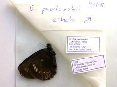 Erebia pawlowskii