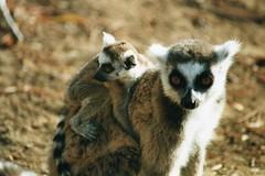 Mother and baby Ring-tails (wallygrom) Tags: africa baby lemur lemurs madagascar lemurcatta lemurien ringtaillemur amboasary taxonomy:binomial=lemurcatta kaletareserve