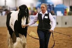 Vanner 3 (larissa_allen) Tags: indiana cob vanner equines horsefair irishcob gypsyvanner gypsycob hoosierhorsefair hoosierhorsefairexpo hoosierhorsefairexpo2009 hoosierhorsefair2009 stalliondemo larissaallenhorses