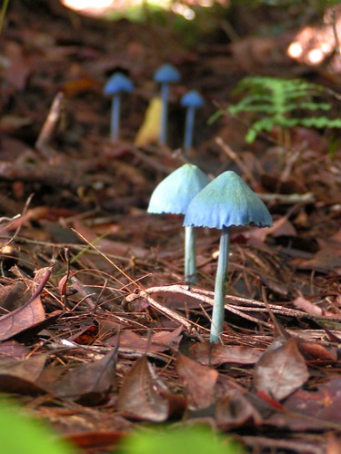 Several Blue Mushrooms