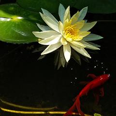 zenned (uteart) Tags: pond goldfish lotus explore frontpage myfave zeisslens explorefrontpage utehagen uteart feedingmyfish explore050209