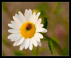 Coccinelle à 7 points | Coccinella septempunctata (Florent Bouckenooghe) Tags: plant france flower macro fleur animal fleurs plante insect vegetation ladybird marguerite plantae asteraceae animalia arthropoda insecte flore coccinelle coleoptera végétation coccinellidae leucanthemum insecta oise oxeyedaisy 105mmf28 leucanthemumvulgare coccinellaseptempunctata hexapoda pterygota asteridae magnoliophyta magnoliopsida asterales neoptera nikond200 végétal cucujoidea cucujiformia polyphaga tracheobionta margueritecommune andeville dsc0017nef