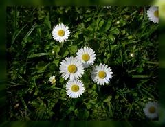 Daisies (ruschi_e) Tags: daisies schweiz switzerland lawn rasen gnseblmchen mywinners abigfave platinumphoto theperfectphotographer ruschie lovely~lovelyphoto