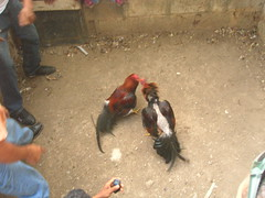 Cockfight near La Vega Vieja