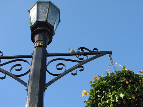 House Sparrow on Lamp