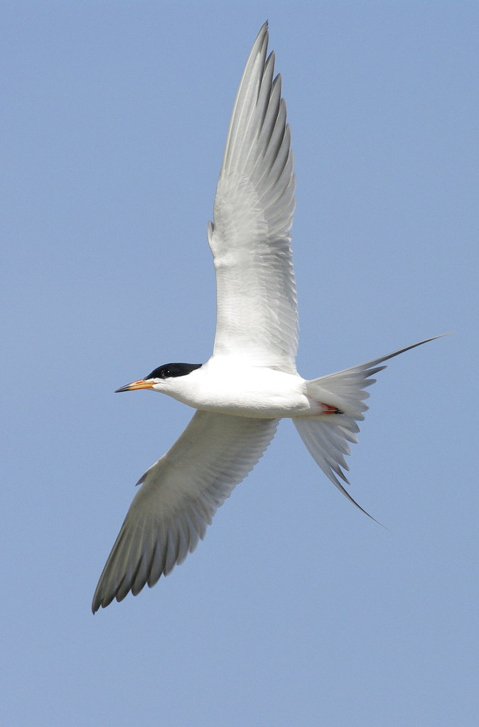 Froster's Tern picture with Pentax F* 300mm f/4.5 and Pentax K20D